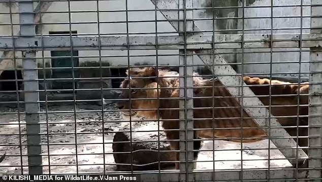 Wildlife charity begins rescue mission after visitor secretly took pictures of a starving lion and dozens of underfed animals at a Zoo in Nigeria (Photos/Video)