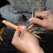 Inde : un coq tue son propriétaire lors d'un combat de coqs