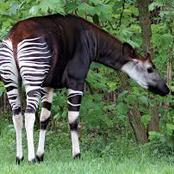 The amazing animal that have strips like the zebra and lives in only Africa.