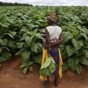 Terms being demanded by Zimbabwe tobacco farmers before the marketing season starts