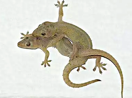If You Have Wall Gecko In Your House, You Need To Know This, They Can Kill You.