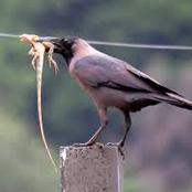 Animal Farming 101: What does a house crow eat?