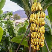 8 Important Benefits Of Eating Bananas Everyday