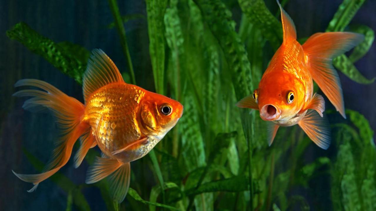 La mémoire d'un poisson rouge est-elle réellement limitée à trois secondes ?