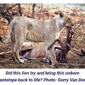 Did this lioness try and revive the unborn calf of the mother she killed?