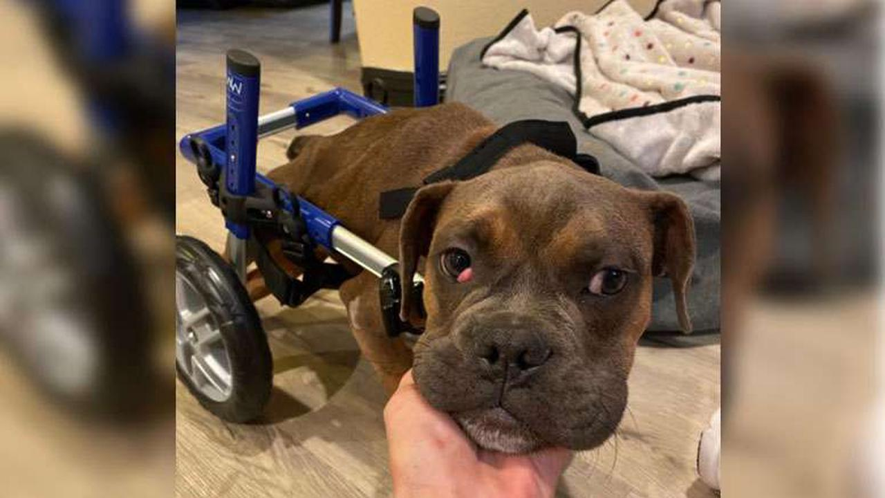 Paralyzed puppy gets wheelchair from NH-based company for Christmas