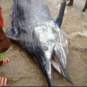 Pictures Of The Giant Fish Caught In Rivers State.