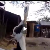 A Goat Was Captured On Camera Drinking A Bottle Of Beer