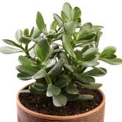 Using This Plant In The Home Will Bring Good Energy And Wealth Those Who Have It