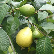 Secrets, the hidden truth about guava leaves you need to know, use it for the following.