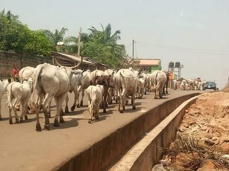 Take A Look At People's Reactions As Amotekun Arrests 100 Cows In Ondo