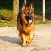 What It Takes To Own A German Shepherd In Kenya