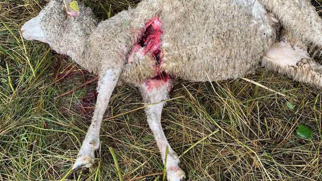 """""""A la prochaine attaque, j'arrête"""" : le désarroi d'un éleveur de brebis, dont 11 bêtes ont été dévorées par les loups"""