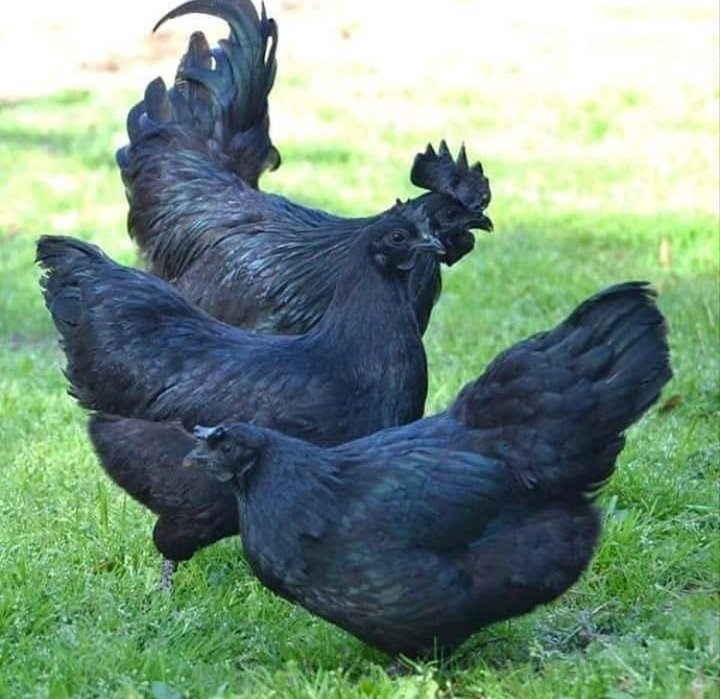 05be5482b3ef61a43ec1de37137aff5e?quality=uhq&resize=720 - Meet the Ayam Cemani Chicken, AKA the 'Lamborghini of Poultry' - Will You Ever Taste It? (Photos)