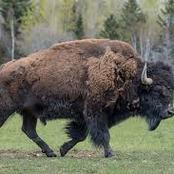 Animal Farming 101: What is the difference between a bison and an American buffalo?