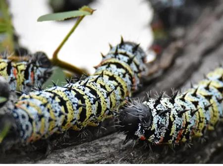 Things You Should Know About Mopani Worms