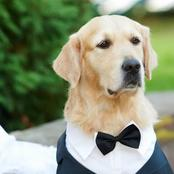 Meet the Golden Retriever Dog That Got Married to a British Model