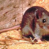 Diseases Transmitted By Rats