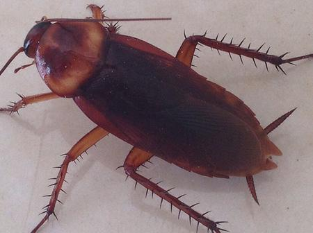 Do You Know That Cockroaches Are Beneficial? Here's 3 Reasons Why You Need To Stop Killing Them