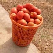 Northern Traders Now Counting their Loss as this Basket of Tomatoes is Been Sold for N200 in Kaduna