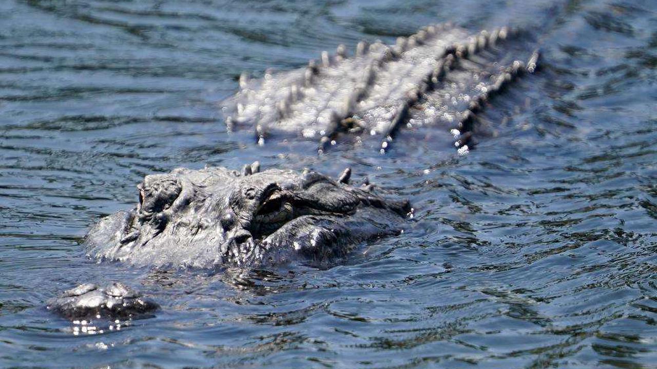 Amorous alligators put Florida on alert as mating season begins
