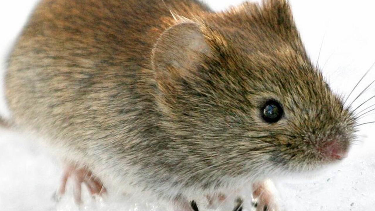 Kleine Mäuse, gefährliche Krankheit - Hantaviren auf dem Vormarsch