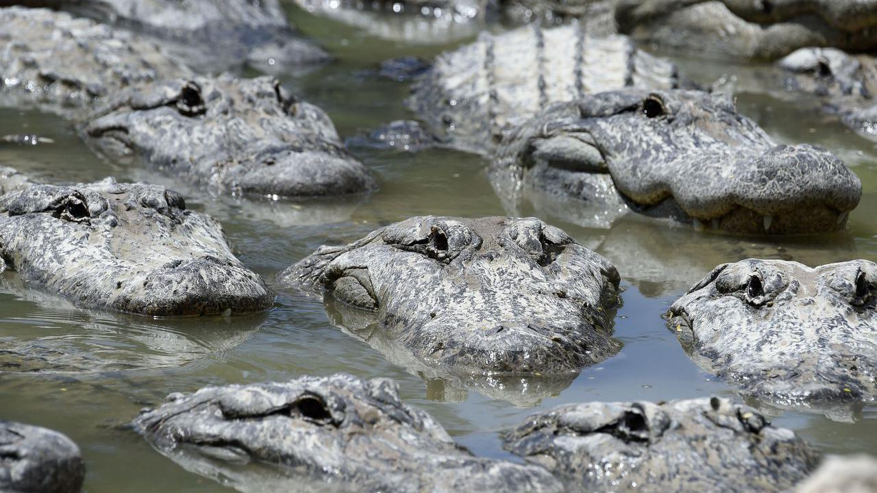 Alligators have the ability to regrow their tails: study