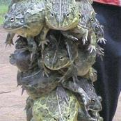 A Sangoma from Limpopo was found selling frogs to the community saying they bring luck (fiction)