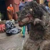 Giant rat found in Mexican sewers after heavy rain fall.