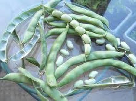 Here is how to grow Haricon beans