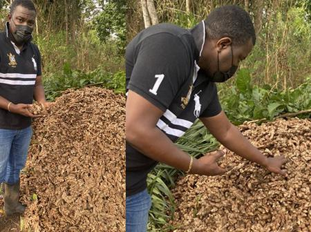 This Man Don't Give Up, See A Bunch Of Ginger Harvest From John Dumelo's Farm - Photos