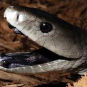 Black Mamba, Snake with a deadly venom here's how this snake can kill you in minutes