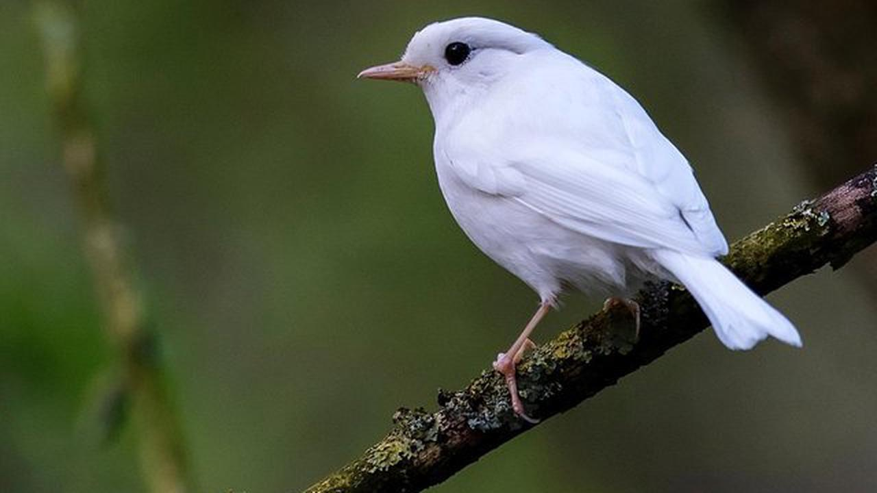 Amazing pure white robin with super-rare albinism spotted in Yorkshire