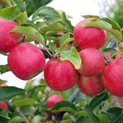 Garden Conditions To Grow Best Apples