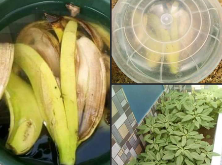 Don't Throw Away Your Banana Peels After Eating The Fruits See The Reason.