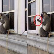 Eyewitness: Check Out What A Monkey Was Seen Doing By A Window Front