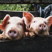 Bad news for Mfuleni farmers as they have been hit the hardest by the Swine Fever