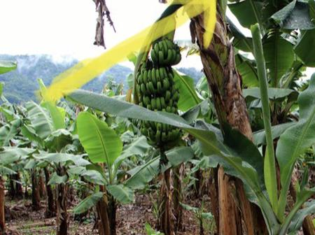 This is why you must have a plantain tree behind your house