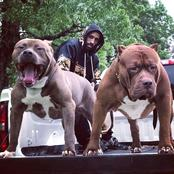 Despite The Fact That Pitbulls Are Dangerous, This Man Owns Over 30 Of Them