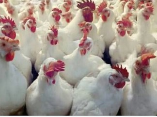 How To earn 150k From Poultry Venture Monthly