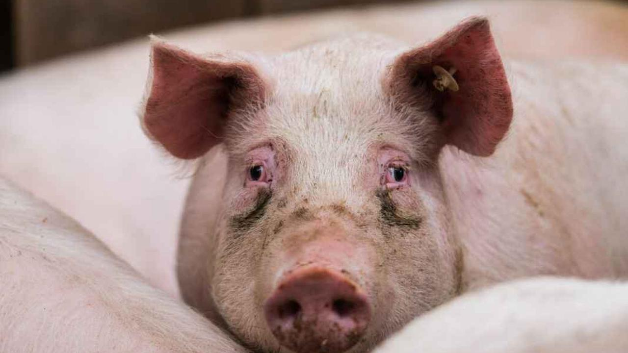 Aktivisten zeigen Bühler Schlachthof wegen Tierquälerei an