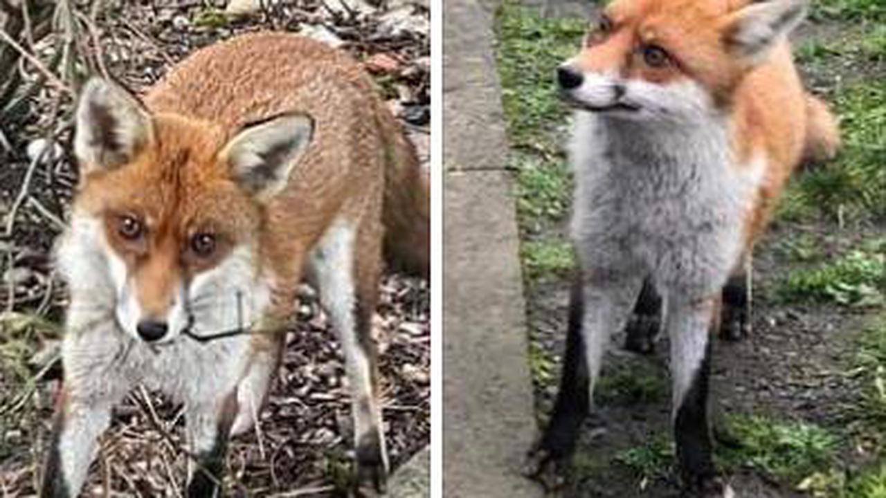NHS trust to humanely deter popular fox from Queen Elizabeth Hospital