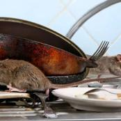 Do these 3 things to avoid Rats from entering your House