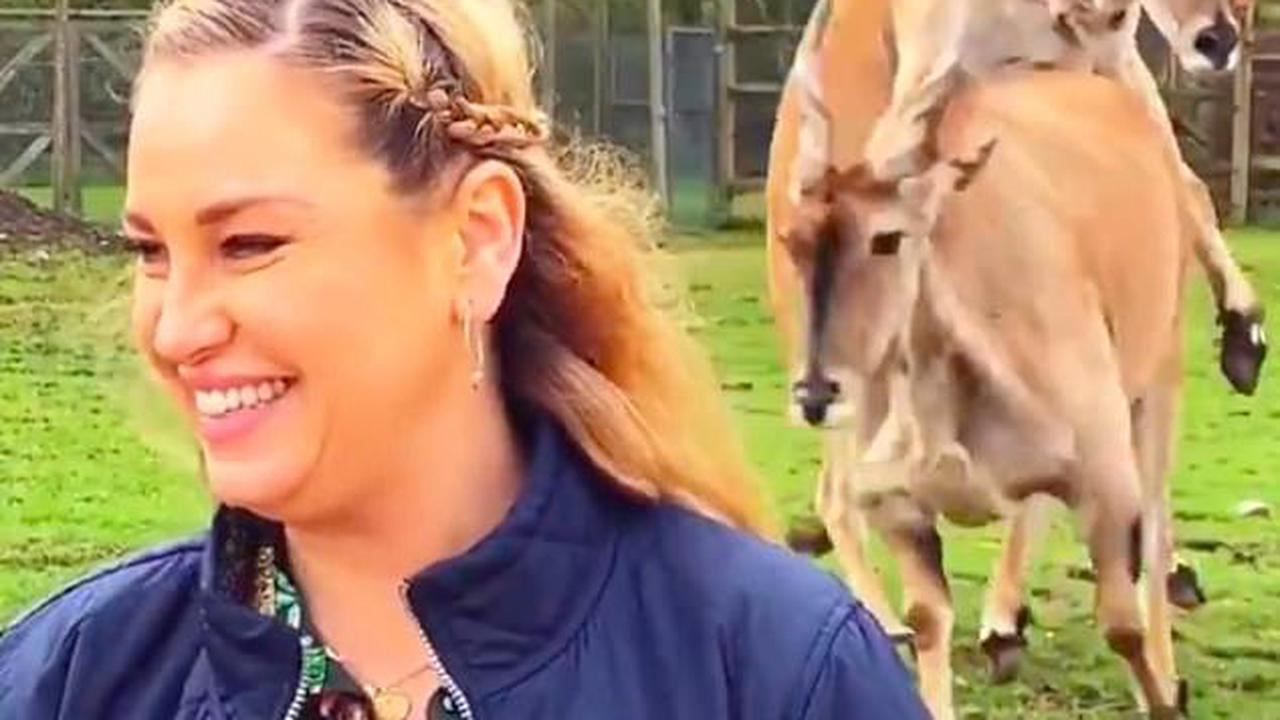 'They're getting a bit excited!' This Morning viewers are left in hysterics as two antelopes start having SEX behind presenter Josie Gibson live on air during zoo segment
