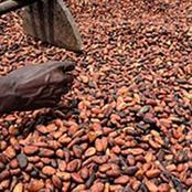 Mévente du cacao en Côte d'Ivoire : les producteurs détiennent 100 000 tonnes
