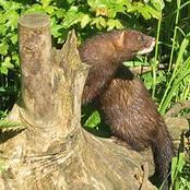 Animal Farming 101: What does the European mink eat?