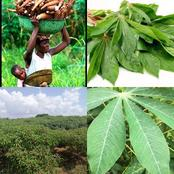 History: Check Out The Spiritual Aspect Of Cassava Leaves In Africa