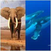 The World's Largest Animal Bigger Than Elephant