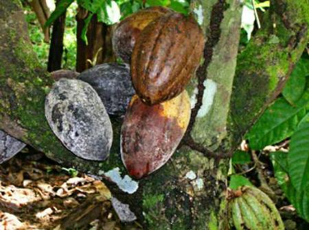 B/R: Municipal Crop Disease Control Team Educates Cocoa Farmers In Nkrankwanta Area