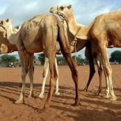 Kenya Vets Are Doing Research To A New Deadly Disease that Attack Camels, Related To Covid-19